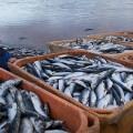 Рыбы в России не будет?