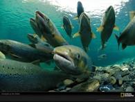 """""""Русское море"""" обещает «завалить» Россию собственным атлантическим лососем"""