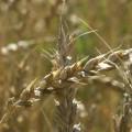 Правительство отменило заградительные пошлины на зерно